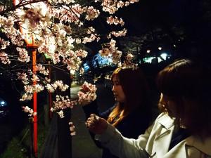 お花見|兼六園|桜